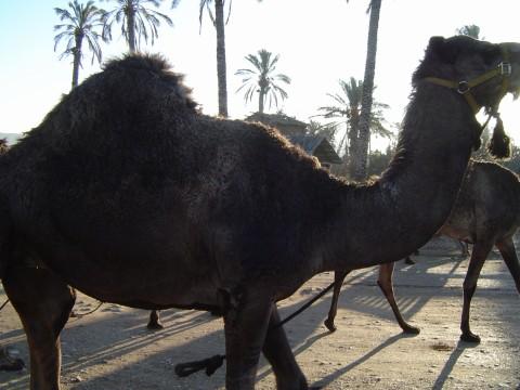 Camels_1