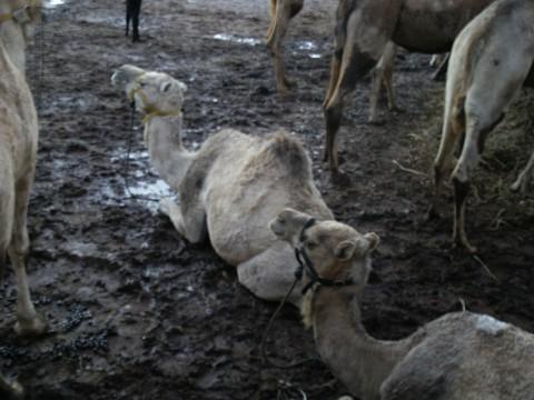 Camels_chillin
