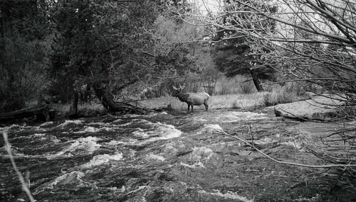 Elk_and_river_2