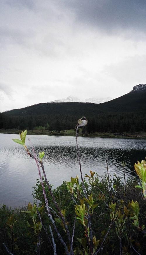 Humming_bird_at_lily_lake